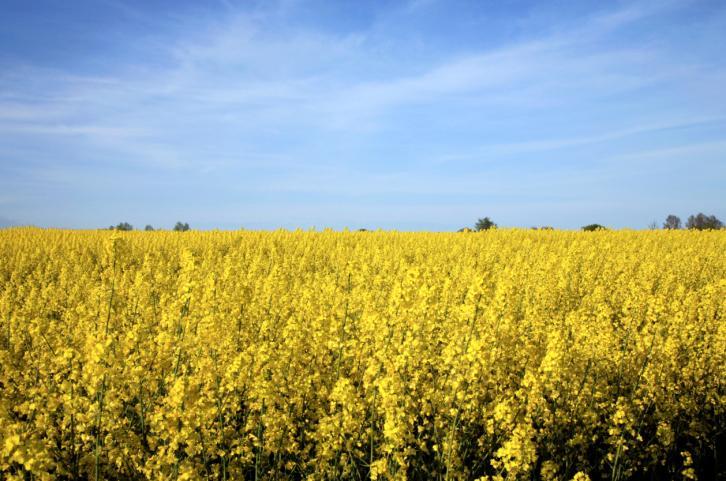 Bruksela wzywa Polskę do monitorowania upraw GMO