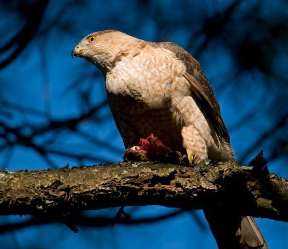 W Karpatach sześć młodych orłów przednich opuści gniazda