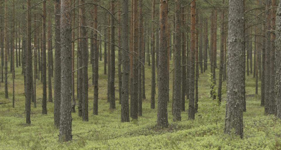 Odkryto gigantyczne gniazdo bielika w poddębickich lasach