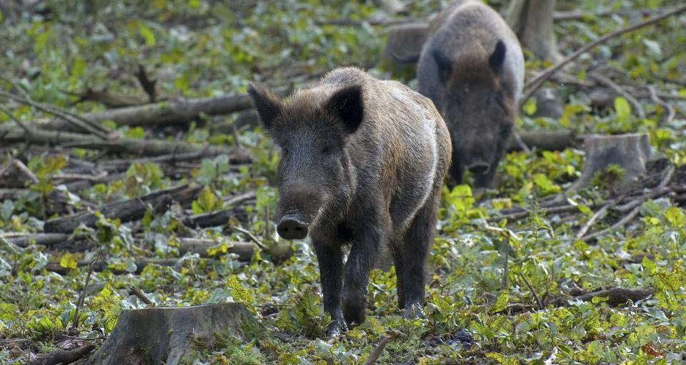 Białystok: rolnicy zawiesili protest ws. szkód powodowanych przez dziki