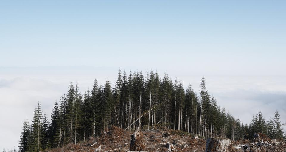 Lasy Państwowe o Puszczy: gradacja kornika zagraża siedliskom (film)
