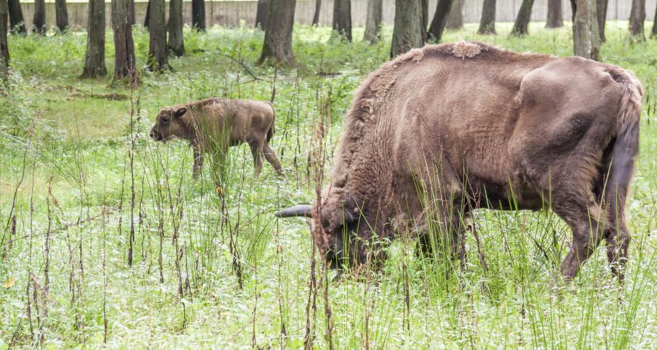 Nadleśnictwo Borki wnioskuje o odstrzał 10 żubrów
