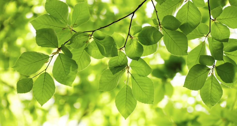 Czy można wydać zgodę na usunięcie zdrowych drzew z powodu liści i owoców opadających na sąsiednią działkę?