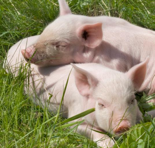 Co zrobić, żeby rolnicy mogli sprzedać świnie z terenów, na których stwierdzono wirusa?