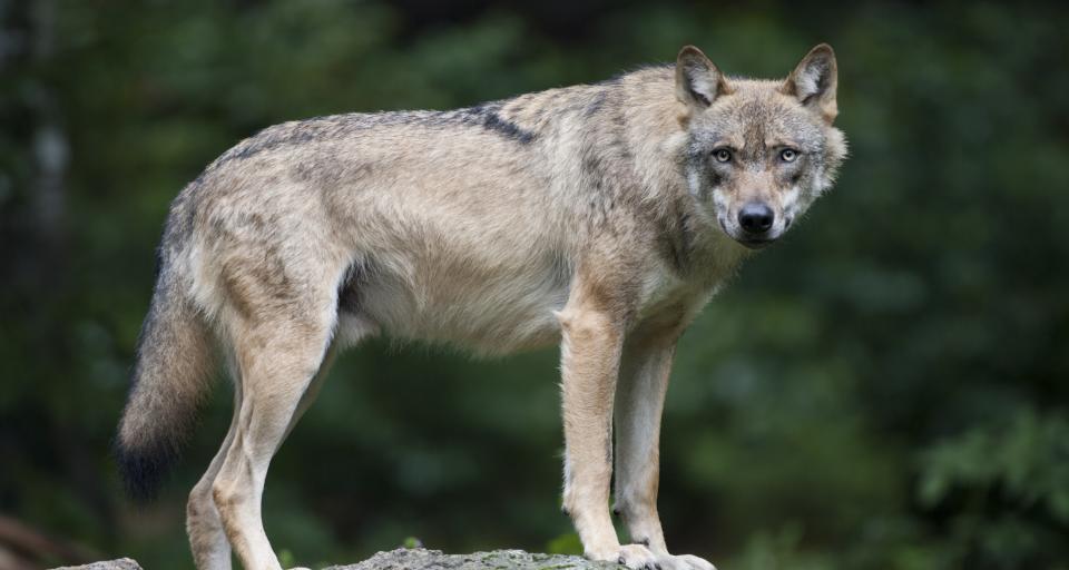 SN: Wilk uniewinniony, Czerwony Kapturek też narozrabiała
