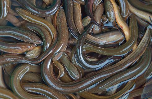 Skarbówka przechwyciła transport chronionego węgorza