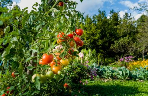 SN: Gdy rolnicy pracują we Włoszech, to grozi im odebranie świadczeń w Polsce