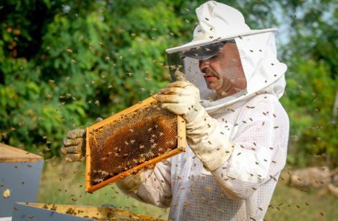Gdy rój ucieknie z ula, pszczelarz ma mało czasu na podjęcie poszukiwań