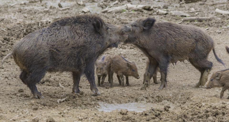 SO: Winna gmina, ale to rolnik nie dostanie rekompensaty za szkody wyrządzone przez zwierzęta